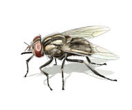 Common fly. Digital illustration of a common fly isolated royalty free illustration