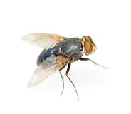 Common fly - hotbed of infection, isolated Stock Photography