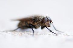 Common Fly Royalty Free Stock Photo