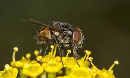 Common fly insect Stock Photos