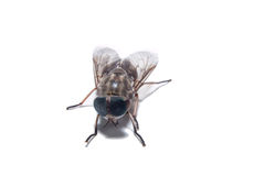 The Common Fly Royalty Free Stock Images
