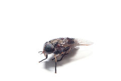 The Common Fly Stock Image