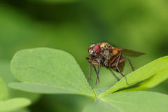 Common fly on a leaf Stock Photos