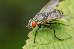 Common Fly Macro Stock Photo