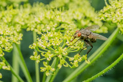 Common Fly Royalty Free Stock Images