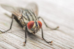 Common Fly Macro Royalty Free Stock Photos