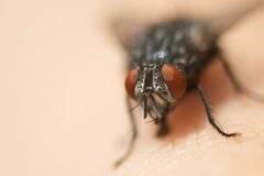 Common Fly Macro Royalty Free Stock Photo