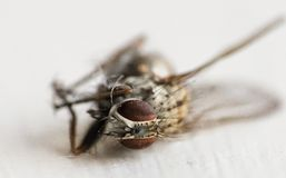 Common fly after meeting Spider. Macro of UK fly Stock Image