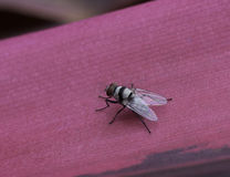 Common Fly on Pink Leaf Royalty Free Stock Image