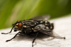Common fly. A common fly on wood Stock Photos