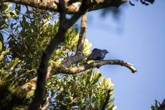 Common forest bird Crested Coura, Coura cristata, , Madagascar Stock Photo