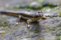 Common Forest Skink in forest Royalty Free Stock Images