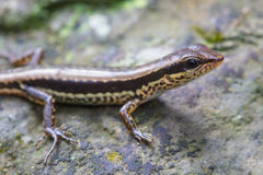 Common Forest Skink in forest Stock Images