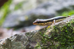 Common Forest Skink in forest Stock Photography