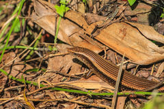 Common Forest Skink Stock Photography