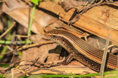 Common Forest Skink Stock Images