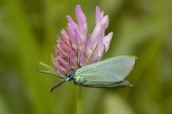 Common Forester. Procris statices Royalty Free Stock Photos