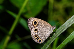 The Common Four-ring butterfly Stock Image