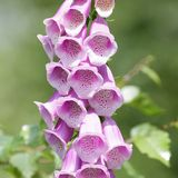 Common foxglove Royalty Free Stock Images