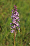 Common Fragrant Orchid Stock Photos