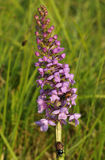 Common Fragrant Orchid Stock Image