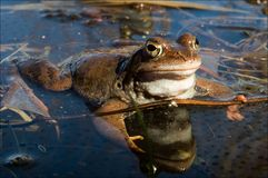 The Common Frog. Royalty Free Stock Images