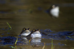 Common frog Stock Photo