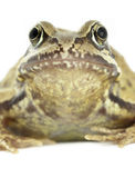 Common Frog Stock Photos