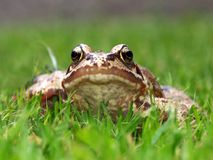 Common Frog. A frog lies low in the grass and stares defiantly at the camera Stock Photo