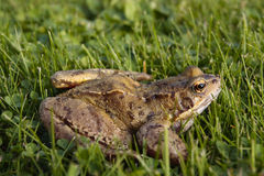 Common frog closeup Stock Photo