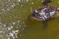 Common frog closeup in pond royalty free stock photo