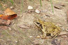 Common Frog Closeup 4 Royalty Free Stock Photography