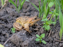 Common frog on a dig box Stock Photo