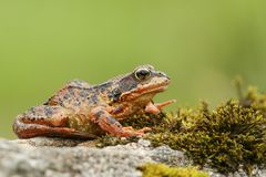 A Common Frog or European Common Frog Rana temporaria sitting on a rock covered in moss. Royalty Free Stock Photo