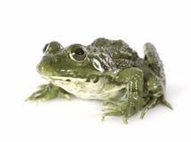 Common frog Stock Photos