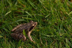 Common frog Royalty Free Stock Photo