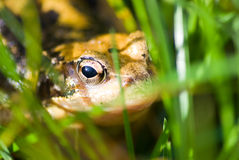Common frog hiding in grass Stock Photography