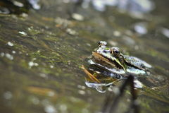 Common frog looking out of water. Nature detail on abstract background Royalty Free Stock Images