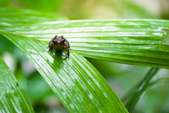 Common frog macro, portrait in its environment. Thailand Royalty Free Stock Photos