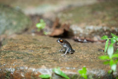 Common frog macro, portrait in its environment. Thailand Stock Images