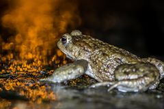 Common frog making love with golden light Stock Photos