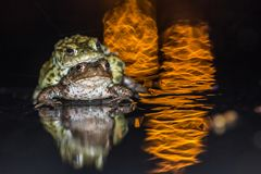 Common frog making love with golden light Royalty Free Stock Photo