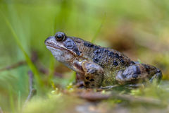 Common frog Royalty Free Stock Photos