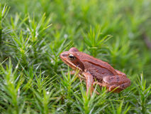 Common frog in the moss, Rana temporaria Stock Images