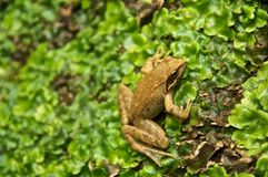 Common Frog on musk Rana Dalmatina Agile Stock Images