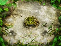 Common frog in nature royalty free stock images
