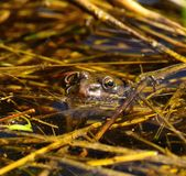 Common frog peeking its head above water Stock Photos