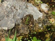 Common frog Pelophylax perezi Royalty Free Stock Photo