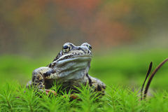 Common Frog Portrait Stock Image