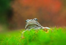 Common Frog Portrait Stock Images